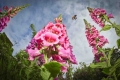 foxgloves and bee winner RHS POTY 2014