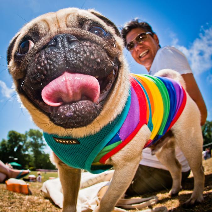 Brighton Pride Pug