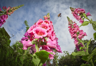 rhs photographer of the year foxgloves bee